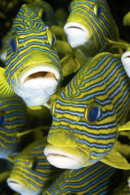 Wild Trout Photograph - Schooling Sweetlip Fish, Raja Ampat by Jaynes Gallery