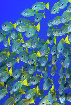 Parrotfish Photograph - Schooling Yellowtail Snapper (ocyurus by Jaynes Gallery