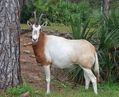 Scimitar Horned Oryx Print by Richard Bryce and Family