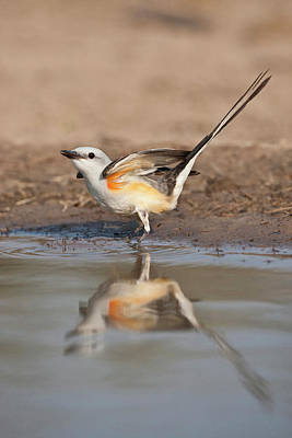 Flycatcher Photograph - Scissor-tailed Flycatcher (tyrannus by Larry Ditto