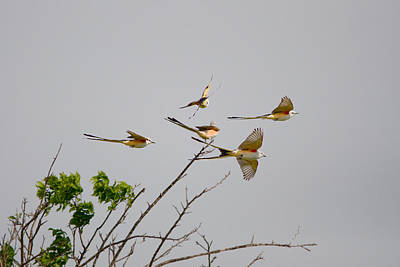Scissor-tailed Flycatchers In Flight Original by Roy Williams