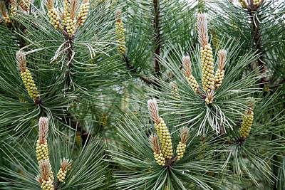 Pine Cones Photograph - Scots Pine (pinus Sylvestris) Male Cones by Dr Keith Wheeler