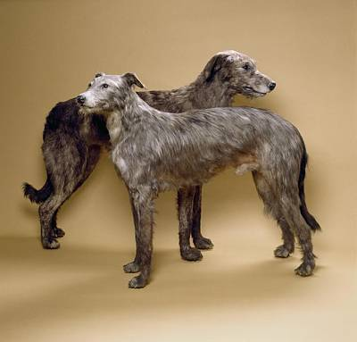 Scottish Deerhounds, Stuffed Specimens Print by Science Photo Library