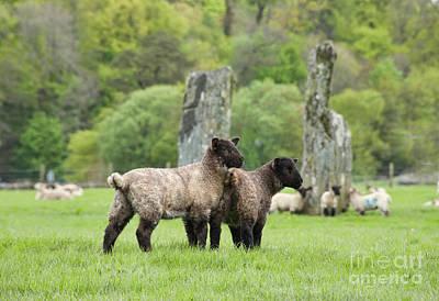 Baby Wool Photograph - Scottish Sheep by Juli Scalzi