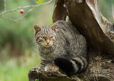 Nature Photograph - Scottish Wildcat On An Old Stump by Louise Heusinkveld