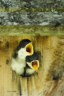 Chirp Photograph - Screaming Hungry by Christina Rollo