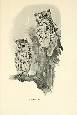 Professional Drawing - Screech Owls by Philip Ralley