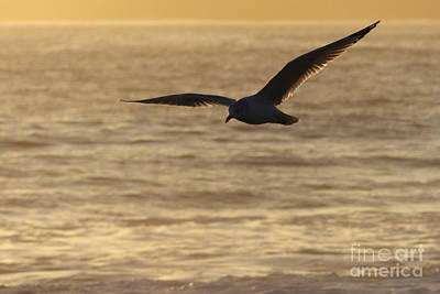 Sea Bird In Flight Print by Paul Topp