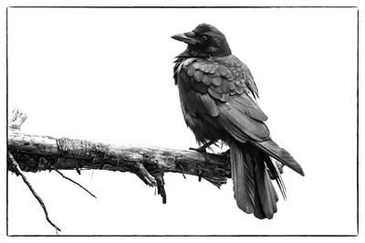 American Crow Photograph - Sea Crow by John Williams