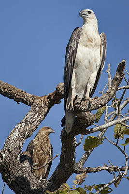 Sea Eagle And Brown Kite Sharing A Tree Print by Douglas Barnard