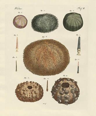 Worm Drawing - Sea Hedgehog by Splendid Art Prints