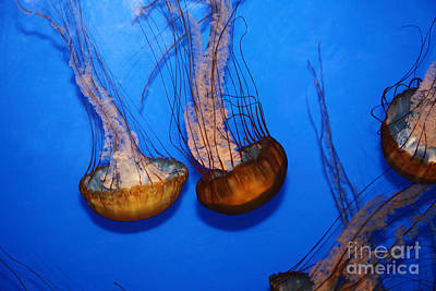 Sea Nettle Jelly Fish 5d25076 Print by Wingsdomain Art and Photography