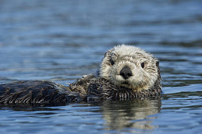 Photograph - Sea Otter Alaska by Michael Quinton
