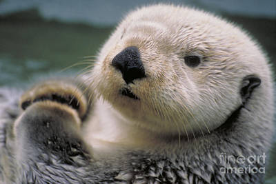 Otter Photograph - Sea Otter by Art Wolfe