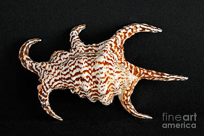 Still-life Photograph - Sea Shell by George Atsametakis