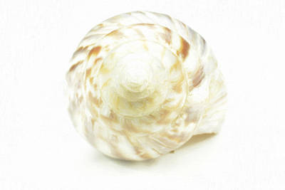 Sea Shell In Oil Paint  Original by Toppart Sweden