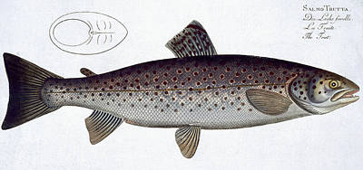 Angling Drawing - Sea Trout by Andreas Ludwig Kruger