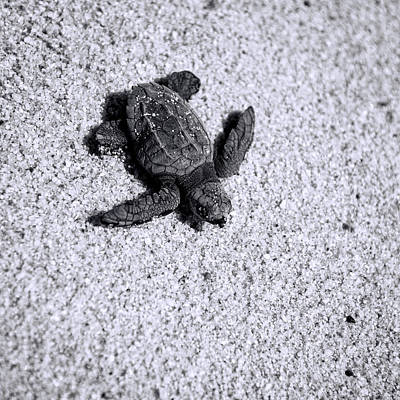 Hatching Photograph - Sea Turtle In Black And White by Sebastian Musial