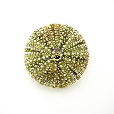 Sea Urchin No.1 Print by Jennifer Booher