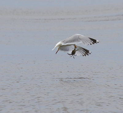 Seagull Photograph - Seagull And Crab 2 by Cathy Lindsey