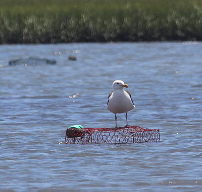 Seagull And Crab Cage Print by Cathy Lindsey