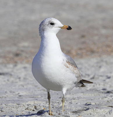 Tide Photograph - Seagull At Jax 3 by Cathy Lindsey
