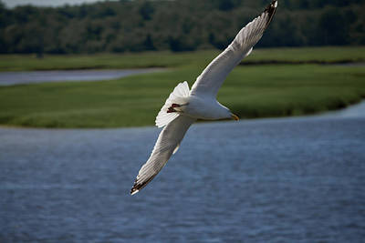 Seagull Photograph - Seagull Banking To The Left by Kirkodd Photography Of New England