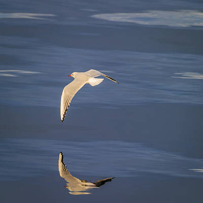 Flying Seagull Photograph - Seagull Flying Low Over Reykjavik by Panoramic Images