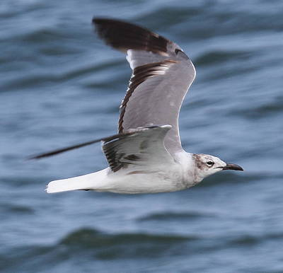 Bird Photograph - Seagull In Flight 13 by Cathy Lindsey