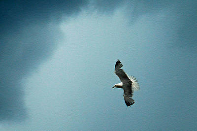 Seagull In Flight Print by Aimee L Maher Photography and Art Visit ALMGallerydotcom