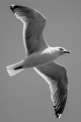 Maine Photograph - Seagull  by Kirkodd Photography Of New England