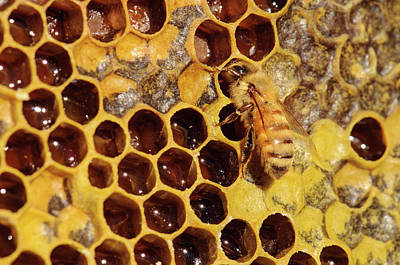 Seattle Close-up Of Bee And Comb Print by Matt Freedman