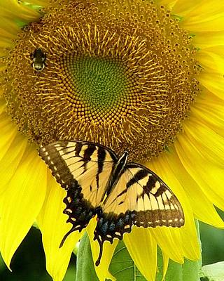 Butterfly Photograph - Secret Lives Of Sunflowers by Kim Bemis