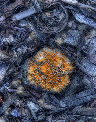 Seed Pod Print by Tom Mc Nemar