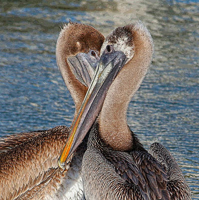Eye 2 Eye - Heart 2 Heart - Brown Pelican Print by HH Photography of Florida
