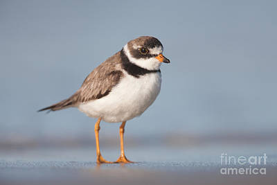 Lapwing Photograph - Semipalmated Plover by Clarence Holmes