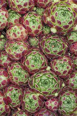 Ornamental Plant Photograph - Sempervivum Atlanticum Pattern by Tim Gainey