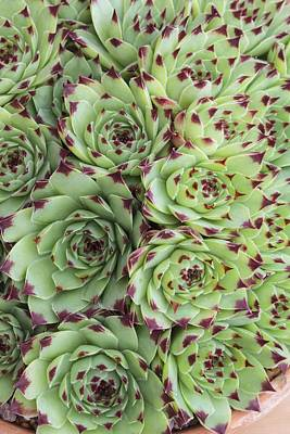 Sempervivum Calacreum Print by Science Photo Library