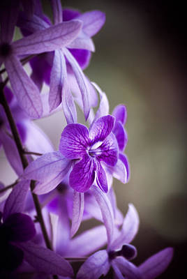 Allium Hollandicum Photograph - Sensational Purple by William Shevchuk