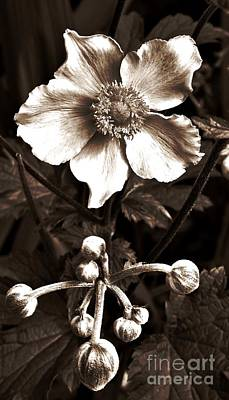 Neurotic Images Photograph - Sepia Anemone by Chalet Roome-Rigdon