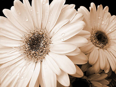 Water Drops Photograph - Sepia Gerber Daisy Flowers by Jennie Marie Schell