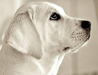 Sepia Labrador Portrait Print by Kristina Deane