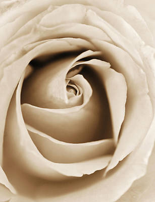 Floral Photograph - Sepia Rose by Marilyn Hunt