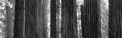 Sequoia Grove Sequoia National Park Print by Panoramic Images
