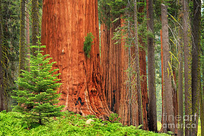 Sequoias Print by Inge Johnsson