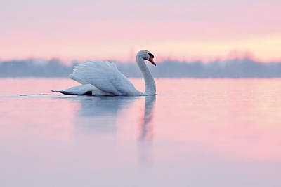 Serenity   Mute Swan At Sunset Print by Roeselien Raimond