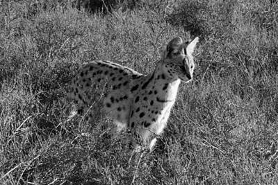 Serval Print by Chris Whittle