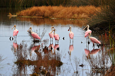 Photograph - Seven Spoonbills by Al Powell Photography USA