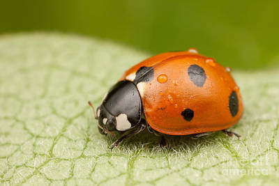 Insects Photograph - Seven-spotted Lady Beetle II by Clarence Holmes
