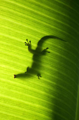 Seychelles Small Day Gecko Print by Fabrizio Troiani